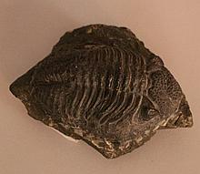 Phacops rana, fossil of a trilobite from the middl