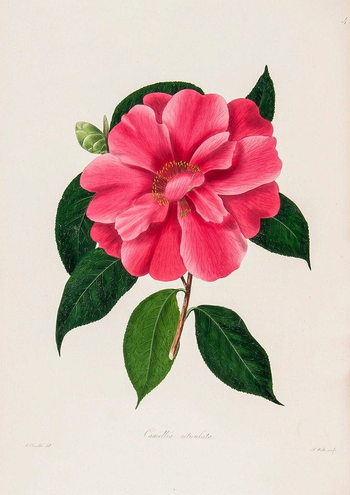 Chandler (Alfred) & William Beattie Booth. - Illustrations and Descriptions of the Plants which Compose the Natural Order Camellieæ...,