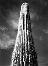Ansel Adams (1902-1984) - Saguaro Cactus, Sunrise, Arizona, 1946