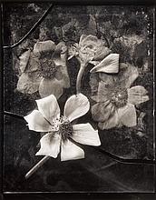John Blakemore (b.1936) - Anemone, 1983