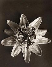 Karl Blossfeldt (1865-1932) - Equisetum Hiemale (Winterschachtelhalm); Passiflora, ca.1910