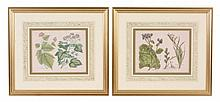 A set of four framed hand coloured engravings of plants and flowers