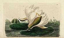 Baxter (William) - British Phaenogamous Botany;