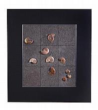 Ammonites, mixed species, Cretaceous period,