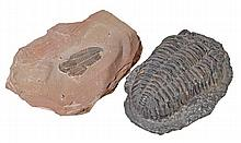 A fossilised trilobite, approximately 200 million