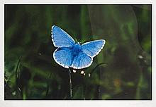 Damien Hirst (b.1965) - Adonis Blue Butterfly