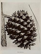 Clinton-Baker (Henry William) - Illustrations of Conifers,