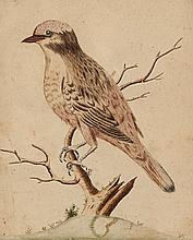 Edwards (George), Attributed to. - The Red Bird from Surinam,