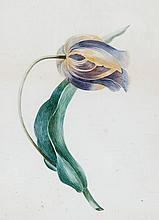 English School, early 19th century. - Two studies of Tulips,