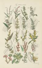 Sowerby (John E.) & others. - British Wild Flowers,