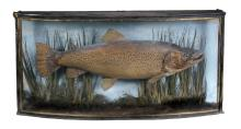 A preserved and mounted trout, late 19th century