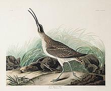 Audubon (John James) - Great Esquimaux Curlew, Numenius Hudsonicus,
