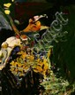 Neill Speers Oplelia Oil on card 14 x 11 cms