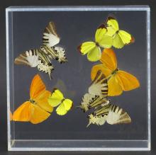Butterflies in Lucite Box. Good Condition. Measures 7 Inches by 7 Inches. Shipping $20.00