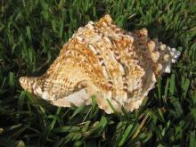 Huge BURSA BUBA Seashell 23cm =9.2 inches