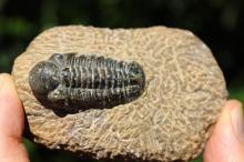 Genuine fossil trilobite, 500-250 million years BC