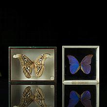 Two big butterflies Italy, 20th century