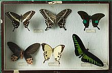 Collection of butterflies Italy, 20th century