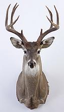 American deer shoulder mount