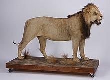 Lion full body mount