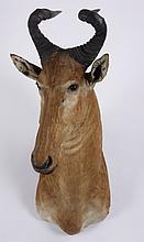 Red hartebeest shoulder mount