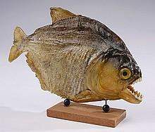 (2) Piranha specimen examples
