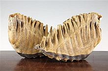 Two mammoth teeth, largest 12.5in.