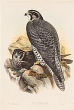 (ORNITHOLOGY) GOULD, JOHN. A group of 6 lithos of birds of prey, 1873.