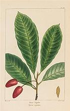 (BOTANY, FERNS) MICHAEL, FRANCOIS-ANDRE 9 color plates of leaves from the North America Sylva. Paris, 1819.
