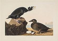 (AUDUBON, JOHN JAMES, after) HAVELL, ROBERT. Black or Surf Duck, Fuligula Perspicillata, plate CCXVII, no. 64. J. Whatman, 1836.