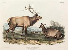 (AUDUBON, JOHN JAMES, after) BOWEN, J.T. American Elk - Apiti Deer, Cercus Canadensus, plate LXII, no. 13. New York, 1845-1851.