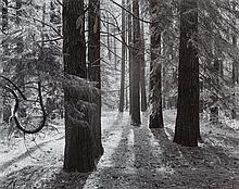 * Ansel Adams, (American, 1902-1984), Forest Floor, Yosemite Valley, CA, 1950