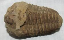 3 3/8 fossilized trilobite ohio's state fossil