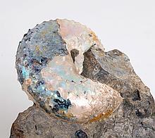 Iridescent Scaphite Ammonite