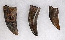 Three Juvenile T-Rex Teeth