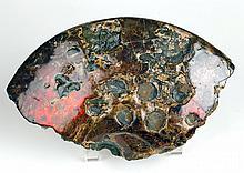Rare Ammonite With Bite Marks