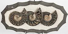 Trio Of Pyritized Russian Ammonites