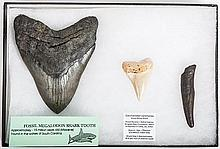 Megalodon Shark Tooth Collection