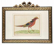 Albin, Eleazar The China Pheasant (Phasianus Chinensis). Altkol. Kupferstich aus