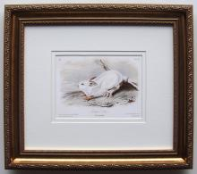 Audubon Northern Hare Framed
