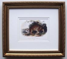 Audubon Quadruped Common Wild Cat