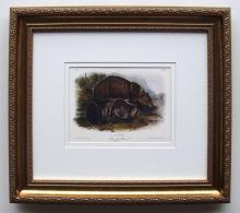 Audubon Quadruped Grizzly Bear Giclee Framed