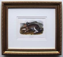 Audubon Quadruped Polar Hare Framed