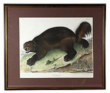 Bowen, Wolverine, Audubon Print