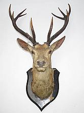 Royal stag's head mounted on a oak shield by