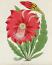 BOTANIK - Paxton, J. Magazine of Botany, and Regis
