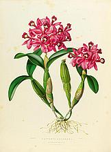 BOTANIK - Batemann, James. The Orchidaceae of Mexico and Guatemala. Mit 40