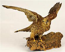 Victorian Taxidermy of a Falco Columbarius