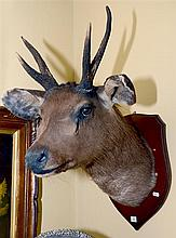 TAXIDERMY DEER MOUNTED HEAD
