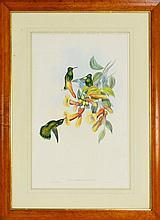 John Gould (British, 1804–1881) - Petasophora Thalassina 51 x 33cm